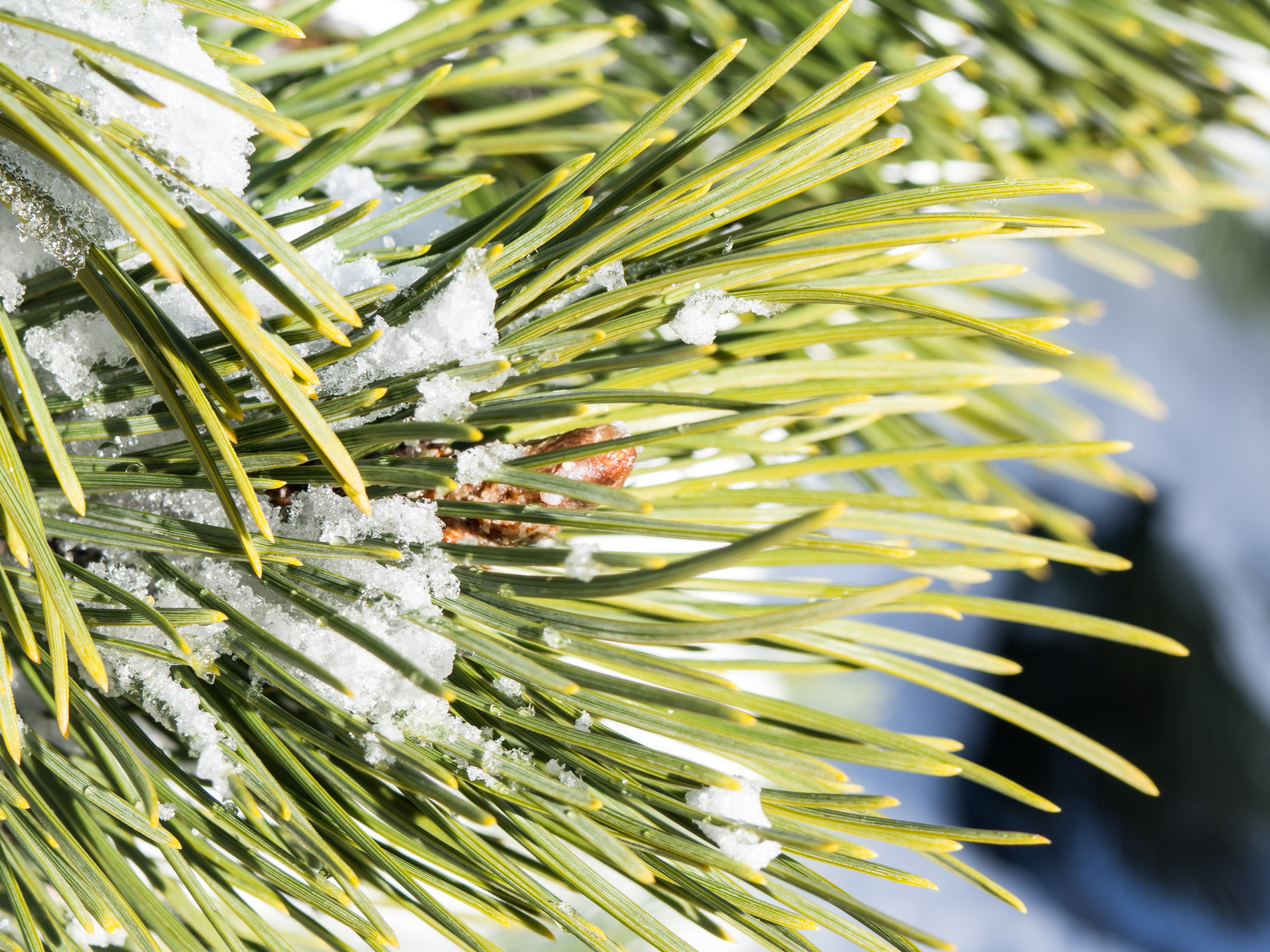 Pine Leaves with Snow and Ice - MMT