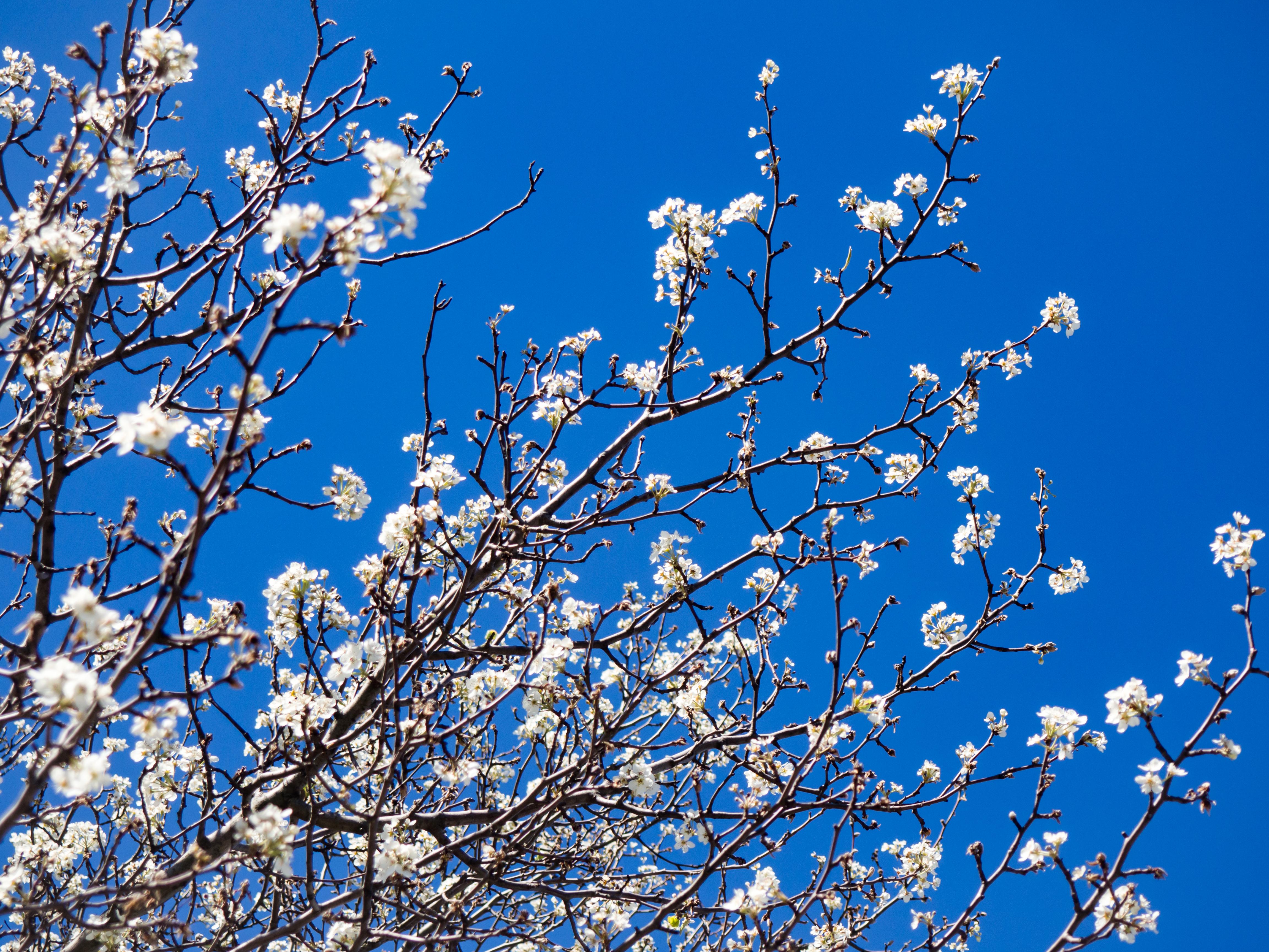 050804227 Cherry Blossoms Under Blue Sky – MMT